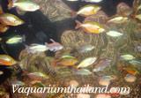 Austrain Rainbow Tetra