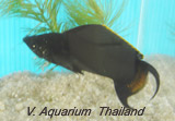 Black Lyretail Sailfin Molly