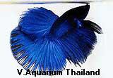 Blue Male Super Delta