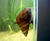 Brotia armata (Spiny snail)