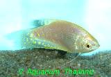 Golden Gourami