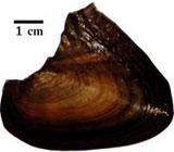 Hyriopsis myersiana