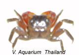 Red Mini Crab